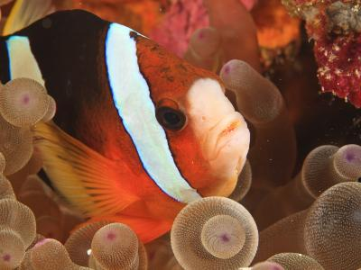 Anemonefish, Tukang Besi/Wakatobi Archipelago Marine Preserve, South Sulawesi, Indonesia-Stuart Westmorland-Photographic Print