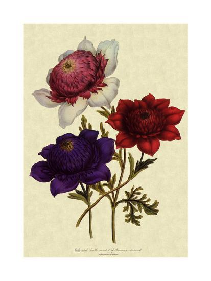 Anemones--Giclee Print