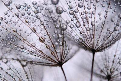 Dandelion Seeds by Anette Linnea Rasmus