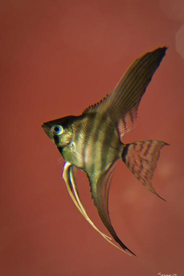 Angel Fish IV-Gordon Semmens-Photographic Print