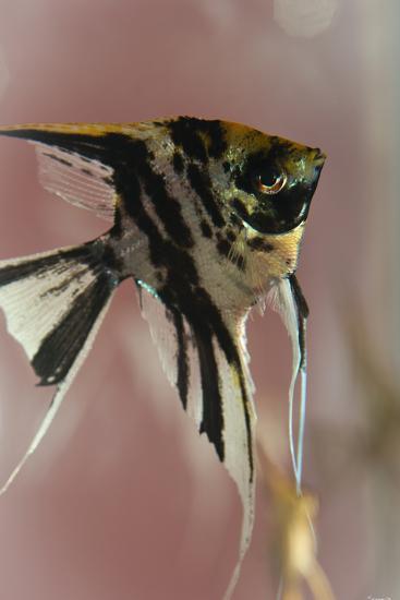 Angel Fish IX-Gordon Semmens-Photographic Print