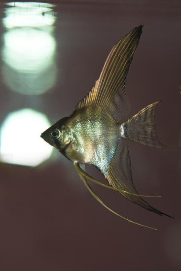 Angel Fish XI-Gordon Semmens-Photographic Print