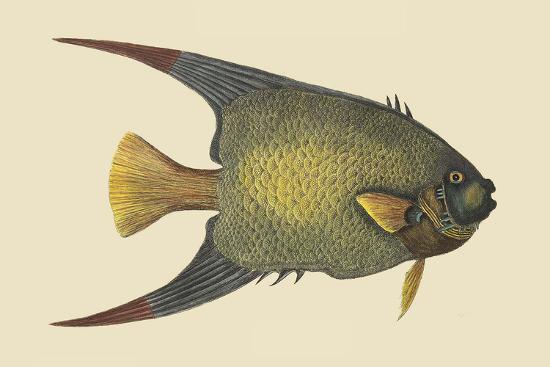 Angel Fish-Mark Catesby-Art Print