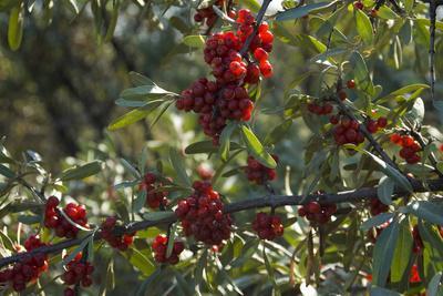 Close Up of Edible Berries. North Dakota, USA