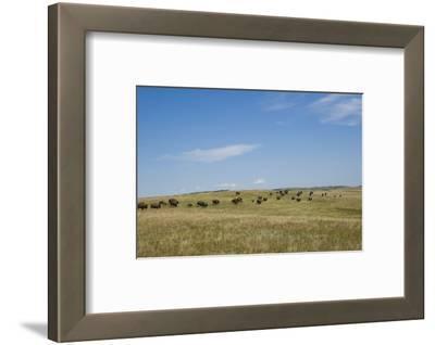 Portrait of American Bison Grazing in the Grasslands, North Dakota