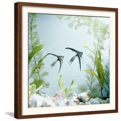 Angelfish Melanic Veiltail 'Black Lace' Variety, from Rivers of Amazon Basin, South America-Jane Burton-Framed Art Print