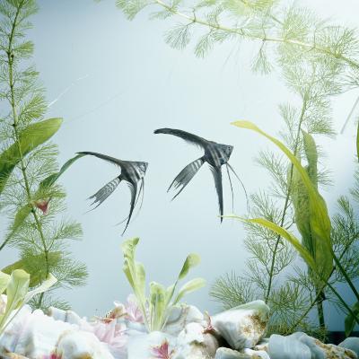 Angelfish Melanic Veiltail 'Black Lace' Variety, from Rivers of Amazon Basin, South America-Jane Burton-Photographic Print
