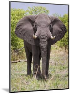 African Elephant, Okavango Delta, Botswana, Africa by Angelo Cavalli