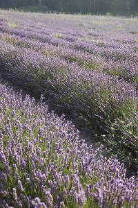 Lavender Fields, Provence, France, Europe by Angelo Cavalli