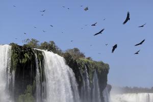 Black Vultures (Coragyps Atratus) In Flight Over Iguazu Falls by Angelo Gandolfi