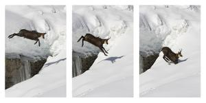 Chamois (Rupicapra Rupicapra) Jumping over Crevasse in the Snow, Abruzzo National Park, Italy by Angelo Gandolfi