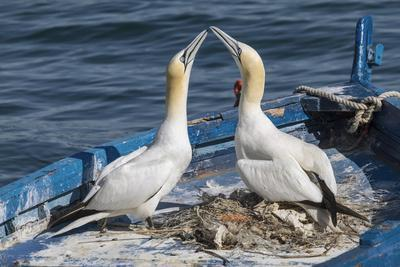 Gannets (Morus Bassanus) Courtship Behavior on Nest on Abandoned Boat, La Spezia Gulf, Italy