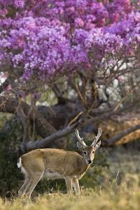 Pampas Deer (Ozotoceros Bezoarticus) Buck In Velvet Standing By Flowering Tree, Pantanal, Brazil by Angelo Gandolfi