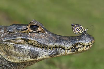 Yacare Caiman (Caiman Yacare) With Butterfly (Paulogramma Pyracmon) Resting On Its Snout