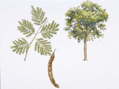 Angico-Cedro (Parapiptadenia Rigida) Plant with Flower, Leaf and Fruit--Giclee Print