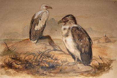 Angola Vulture (Gypohierax Angolensis), 1856-67-Joseph Wolf-Giclee Print