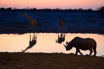 Angolan Giraffes (Giraffa Camelopardalis Angolensis) and Black Rhinoceros (Diceros Bicornis)-Eric Baccega-Photographic Print