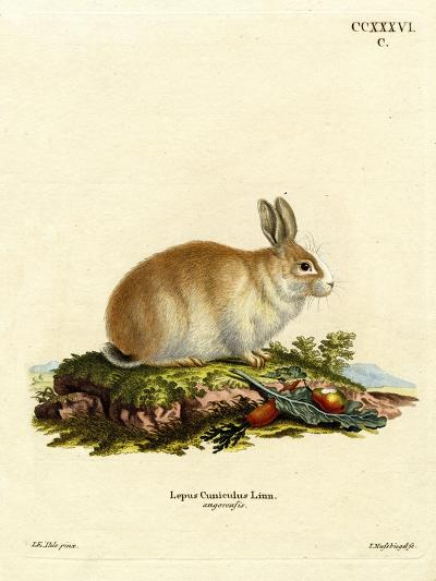 Angora Rabbit--Giclee Print