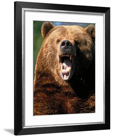 Angry Brown Bear Growling and Showing Teeth--Framed Photographic Print