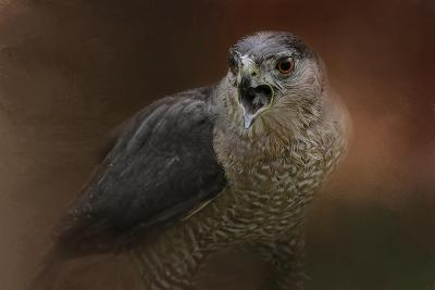 Angry Sharp Shinned Hawk-Jai Johnson-Giclee Print