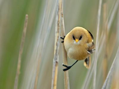 Angrybird II-Henrik Pettersson-Photographic Print