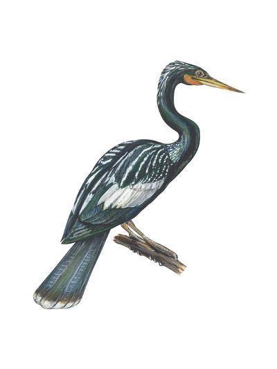 Anhinga (Anhinga Anhinga), Birds-Encyclopaedia Britannica-Art Print