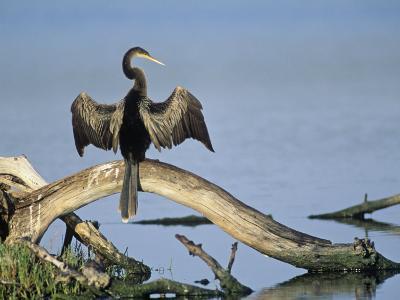 Anhinga (Anhinga Anhinga) Drying its Wings, Ding Darling National Wildlife Refuge, Florida, USA-Adam Jones-Photographic Print