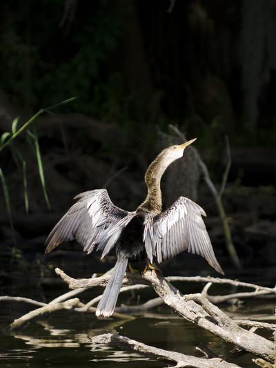 Anhinga (Anhinga Anhinga), Everglades, UNESCO World Heritage Site, Florida, USA, North America-Michael DeFreitas-Photographic Print