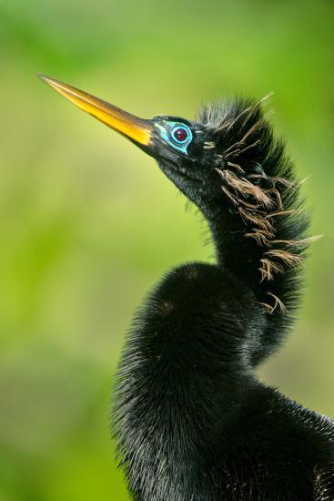 Anhinga (Anhinga Anhinga), Tortuguero, Costa Rica--Photographic Print