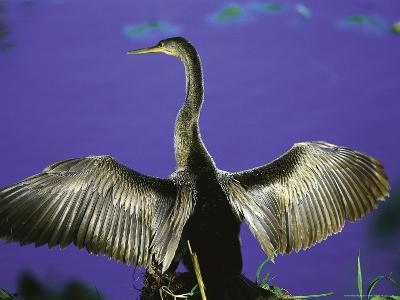 Anhinga Drying Wings-Timothy O'Keefe-Photographic Print