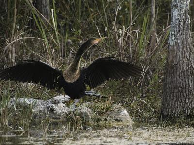 Anhinga Spreads its Wings on Floridas Gulf Coast-Klaus Nigge-Photographic Print