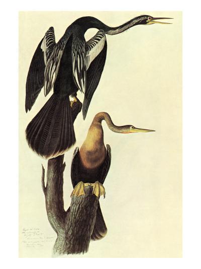 Anhinga-John James Audubon-Art Print