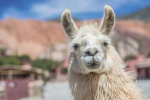 Llama in Purmamarca, Jujuy, Argentina. by Anibal Trejo