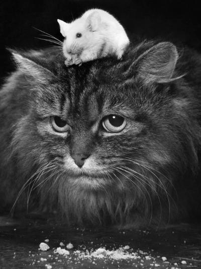 Animal Friendships: Cats and Mice--Photographic Print
