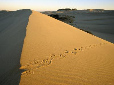 Animal Tracks in the Sand at Oregon Dunes--Photographic Print
