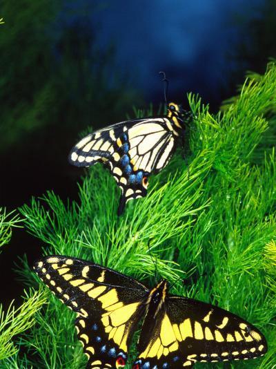 Anise Swallowtail Butterfly, California, USA-David Northcott-Photographic Print