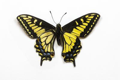 Anise Swallowtail Butterfly, Top and Bottom Wing Comparison-Darrell Gulin-Photographic Print