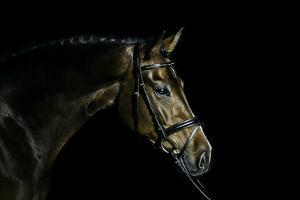 Purebred Bay Horse Ready for a Contest by Anja Hild