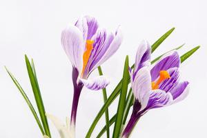 Crocus Flower on White by Anjo Kan