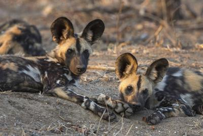African wild dog (Lycaon pictus) at rest, Kruger National Park, South Africa, Africa by Ann and Steve Toon