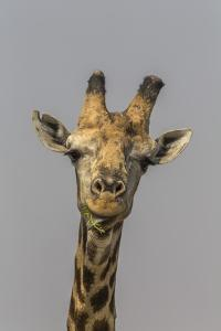 Giraffe (Giraffa camelopardalis) feeding, Kruger National Park, South Africa, Africa by Ann and Steve Toon