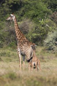 Giraffe (Giraffa camelopardalis) with small baby, Isimangaliso, KawZulu-Natal, South Africa, Africa by Ann and Steve Toon