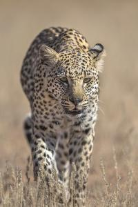 Leopard female (Panthera pardus), Kgalagadi Transfrontier Park, South Africa, Africa by Ann and Steve Toon
