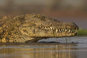 Nile crocodile (Crocodylus niloticus), Zimanga private game reserve, KwaZulu-Natal, South Africa, A by Ann and Steve Toon