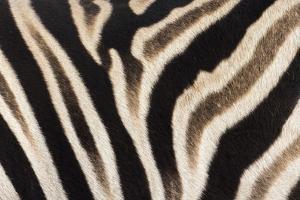 Plains Zebra (Equua Quagga Burchelli) Stripe Pattern Detail Showing Shadow Stripe by Ann and Steve Toon