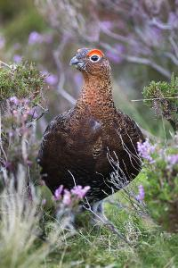 Red Grouse (Lagopus Lagopus) Male, in Heather, County Durham, England, United Kingdom, Europe by Ann and Steve Toon