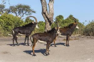 Sable (Hippotragus niger), Chobe National Park, Botswana, Africa by Ann and Steve Toon
