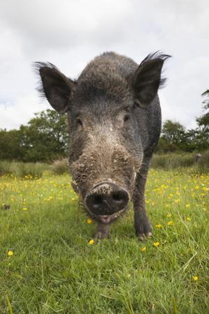 Wild Boar (Sus Scrofa), Captive, United Kingdom, Europe by Ann and Steve Toon