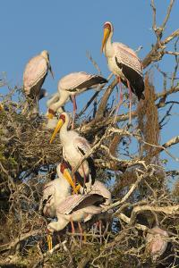 Yellow-billed stork (Mycteria ibis) at nesting colony, Chobe River, Botswana, Africa by Ann and Steve Toon