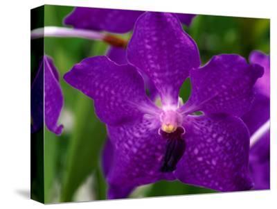 An Exotic Orchid at an Orchid Farm Near the Volcano, Hawaii (Big Island), Hawaii, USA